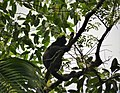 Mantled Howler Monkey. Alouatta palliata (43108039632).jpg