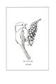 Manual of Bird Study 0027-7.png
