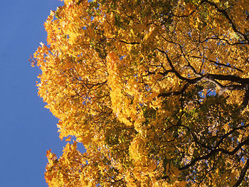 Maple tree turku 2005.jpg