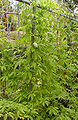 Margoze plant.jpg