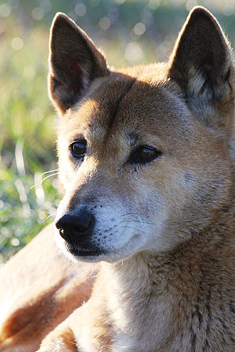 New Guinea singing dog - A New Guinea singing dog at the Conservators Center in North Carolina