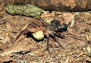 Mastigoproctus giganteus - Mastigoproctus giganteus female with egg sac