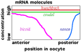 Maternal effect mRNAs-2.png