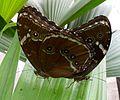 Mating Morphos achilles theodorus - Flickr - gailhampshire.jpg