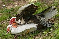 Mating muscovy ducks Saclas n02.jpg