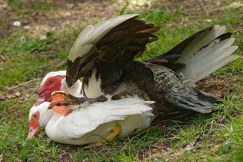how to get rid of muscovy ducks