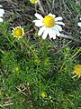 Matricaria chamomilla plant (09).jpg