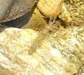 Mayfly Larva (45474720).jpg