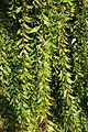 Maytenus boaria - San Luis Obispo Botanical Garden - DSC05989.JPG
