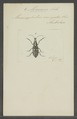 Mecocerus - Print - Iconographia Zoologica - Special Collections University of Amsterdam - UBAINV0274 031 03 0004.tif