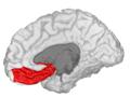 Medial Orbitofrontal - DK ATLAS.png