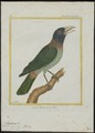 Megalaima virens - 1700-1880 - Print - Iconographia Zoologica - Special Collections University of Amsterdam - UBA01 IZ18800030.tif