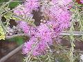 Melaleuca thymifolia3.jpg