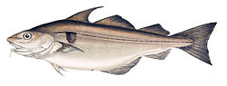 meaning of haddock