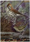 Melody the Wood Thrush, Teacher the Oven Bird.jpg