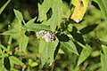 Mentha longifolia mit Schwebfliege II, Milseburger Kuppenrhön bei Steens.jpg