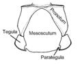 Mesoscutum Cephalastor estela.PNG