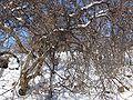 Mespilus germanica fruktoj4.jpg