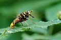 Milésie faux-frelon (Milesia crabroniformis), Le Collet-de-Dèze, Lozère, France (36986047035).jpg