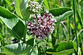Milkweed at Trustom Pond National Wildlife Refuge. (4812359329).jpg