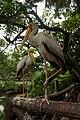 Milky Storks in Kuala Lumpur Bird Park.jpg