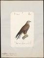 Milvus migrans - 1842-1848 - Print - Iconographia Zoologica - Special Collections University of Amsterdam - UBA01 IZ18200336.tif