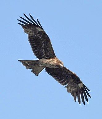 Order of the Golden Kite - Milvus migrans