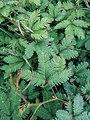 Mimosa pudica (Fabaceae) 02.jpg