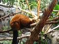 Minnesota Zoo Lemur.jpg