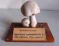 Modell von Agaricus campestris (Wiesenchampignon, Feld-Edelpilz).jpg