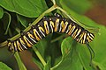 Monarch - Danaus plexippus on Sandvine, Leesylvania State Park, Woodbridge, Virginia (37273140835).jpg