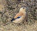 Mongolian Ground Jay (Podoces hendersoni) - Хулан жороо (16566349299) (cropped).jpg
