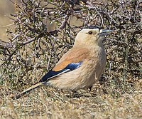 Mongolian Ground Jay (Podoces hendersoni) - Хулан жороо (16566349299) (cropped).jpg
