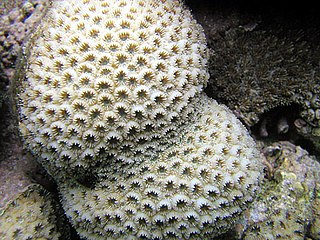 Merulinidae family of corals
