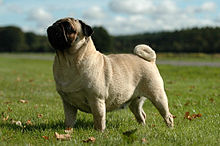 A fawn colored pug looks off to the left whilst standing in a field of grass.