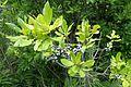 Morella pensylvanica kz1.jpg