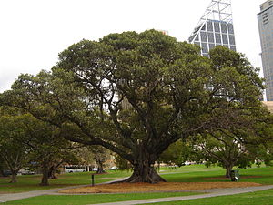 Ficus macrophylla - A specimen at The Domain, Sydney, planted in 1850