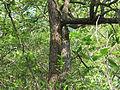 Morinda pubescens06.JPG