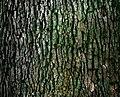 Moss growing on a tree (Unsplash).jpg