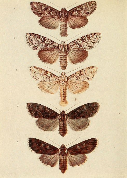Moths of the British Isles Plate119.jpg