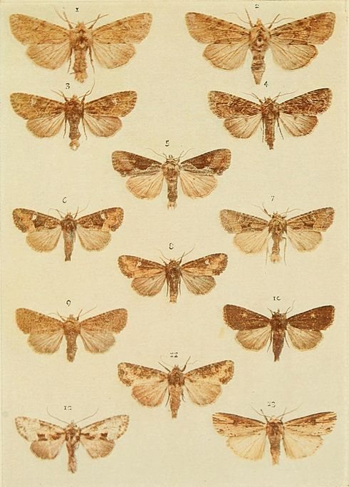 Moths of the British Isles Plate132.jpg