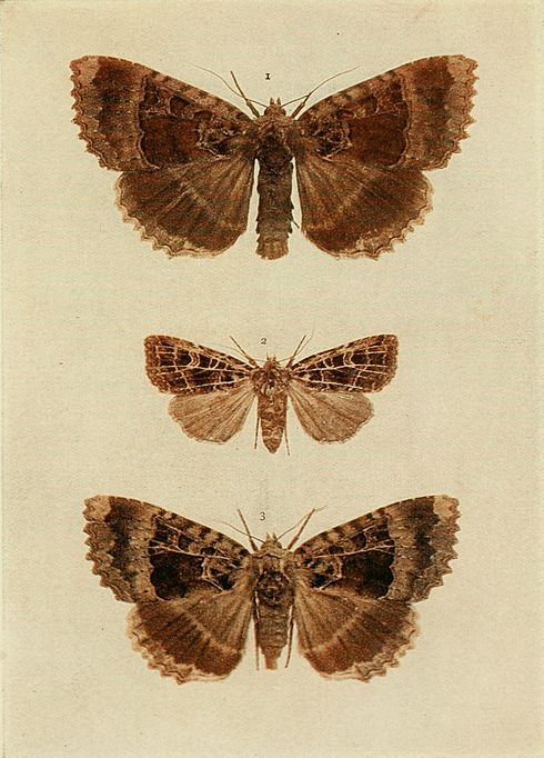 Moths of the British Isles Plate142.jpg