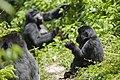 Mountain gorilla (Gorilla beringei beringei) 11.jpg