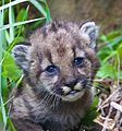 Mountain lion kitten P-54.jpg