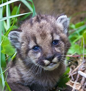Santa Monica Mountains National Recreation Area - Mountain lion kitten P-54, born in early 2017 in the SMMNRA