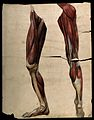 Muscles and tendons of the legs and feet, front and back vie Wellcome V0008277.jpg