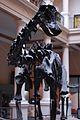Museo de La Plata - Diplodocus carnegii (2).jpg