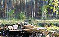 Mushrooms of Puszcza Zielonka (Trzaskowo) (5).JPG