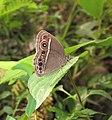 Mycalesis mineus – Dark-branded Bushbrown 08.jpg