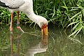 Mycteria ibis (6337868126).jpg